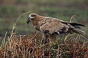 A Tawny Eagle (Aquilla rapax) has caught a mouse in Maasai Mara, Kenya.