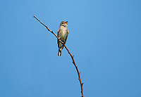 Greater Pewee (Contopus pertinax) perched in a tree, Alan Lloyd trail, Ajijic, Jalisco, Mexico