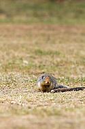 A Columbian Ground Squirrel (Urocitellus columbianus) at Manning Provincial Park in British Columbia, Canada