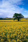 A rape seed field, Oxfordshire