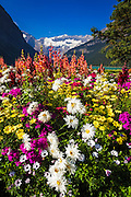 Flowers at Lake Louise under Mount Victoria, Banff National Park, Alberta, Canada