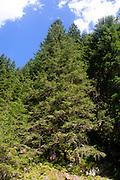 Austria, Tyrol, Hintersee Pine trees