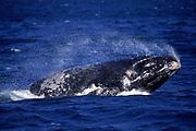 Southern Right Whale<br />Eubalaena australis<br />Peninsula Valdes. Patagonia, ARGENTINA   South Africa<br />RANGE: Circumpolar 20-55 degrees South