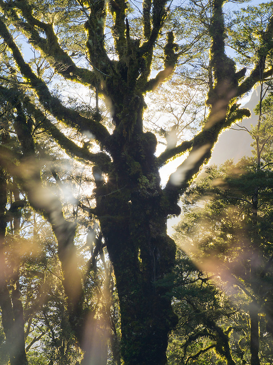 A moss-covered tree is silhouetted against the sun on a damp, foggy morning. Fiordland National Park, New Zealand.