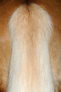 """Haflinger (Equus ferus caballus), tail of a haflinger. Haflinger is a mountain pony descend from Tyrol. Fur is chestnut to a rich golden chestnut. Especially striking is his flax-colored to white-haired mane, also the tail. Haflingers have many uses, including endurance riding, dressage, equestrian vaulting and therapeutic riding programs. The horse is robust, cross-country and friendly nature. In Alpine region, Italy and France horses process into food. Rosshaupten, Bavaria, Germany.This picture is part of the series """"Creature's Coiffure""""..Haflinger (Equus ferus caballus) Schweif eines Haflingers. Der Haflinger ist ein Gebirgspferd und kommt urspruenglich aus Tirol. Er besitzt ein rotbraunes bis goldenes Fell. Besonders auffaellig ist seine flachsfarbene bis weisse langhaarige Maehne, ebenso sein Schweif. Einsatzgebiet: Freizeitreiten, Therapiereiten, Zugpferde. Es ist robust, gelaendegaengig, nicht zu gross und von freundlichem Wesen. Im Alpenraum, in Italien und Frankreich wird er auch zu Lebensmitteln verarbeitet. Rosshaupten, Bayern, Deutschland.Dieses Bild ist Teil der Serie ,,Die Frisur der Kreatur"""""""