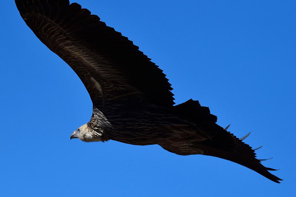 Himalayan griffon vulture (Gyps himalayensis) flying in front of blue sky, Dulan Hills, Tibetan Plateau, Qinghai, China