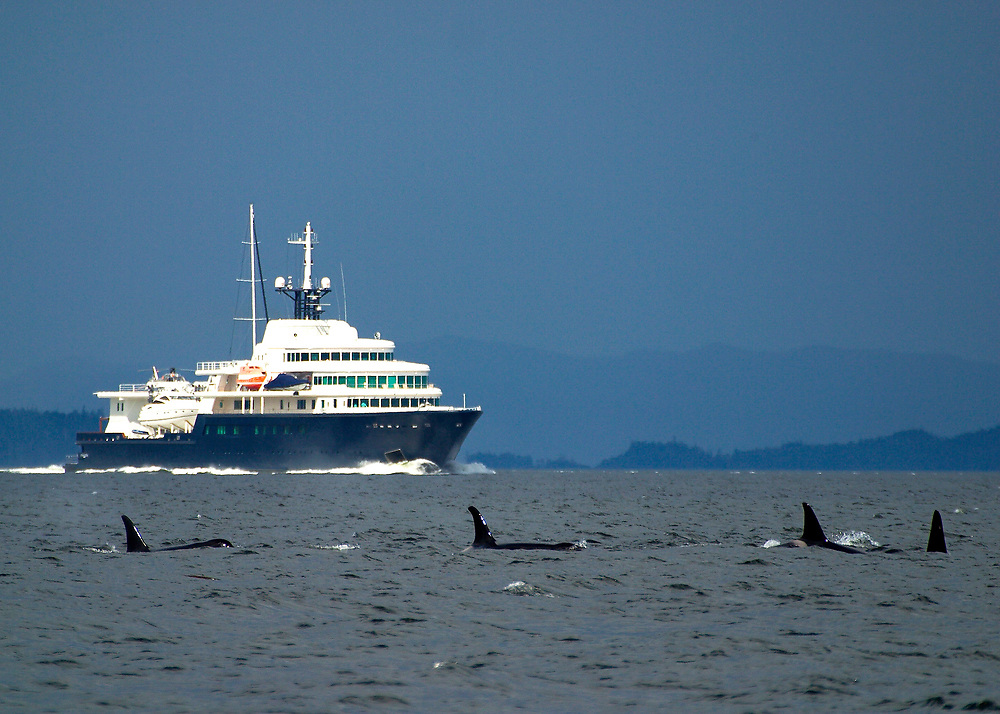 Alaska. SE. Inside Passage. A pod of Orca whales ( Grampus orcinus) with boat in the distance.