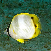 Spotfin Butterflyfish flit about reef tops, often in pairs in Tropical West Atlantic; picture taken Little Cayman.
