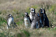 A group of Magellanic penguins (Spheniscus magellanicus) stand in grass on Carcass Island on Sunday 4th February 2018.