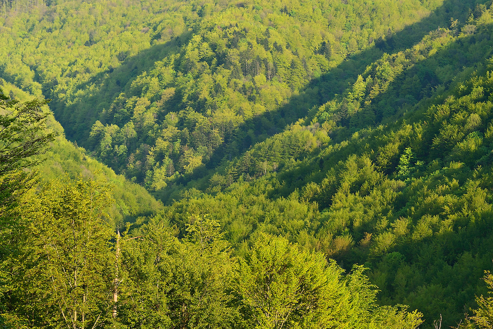 Beech forests in the Tarcu mountains nature reserve, Natura 2000 area, Southern Carpathians, Romania.