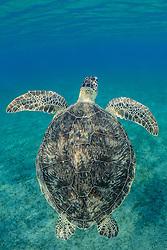 Chelonia mydas, Gruene Suppenschildkroete, Green Sea Turtle, Seaturtle, Wadi Gimal, Nationalpark Marsa Alam, Rotes Meer, Ägypten, Wadi Gimal, National Park, Red Sea, Egypt