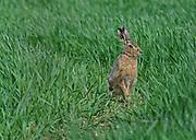 Brown Hare, Lepus europaeus; in wheat field; in Lancashire, UK