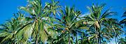 Coconut Palms, Hawaii<br />
