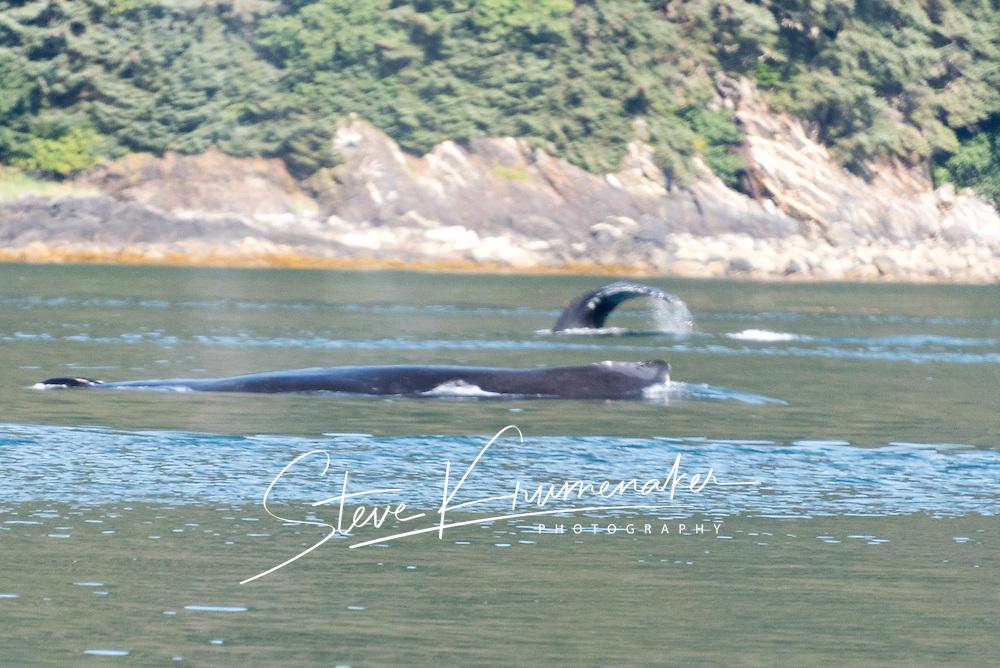 Humpback Whales, Auke Bay, AK