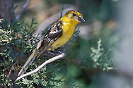 Flame-colored Tanager - Piranga bidentata - female