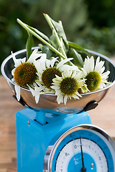 Making echinacea tincture - weighing flowers on scales