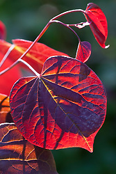 Backlit leaf of Cercis canadensis 'Forest Pansy'
