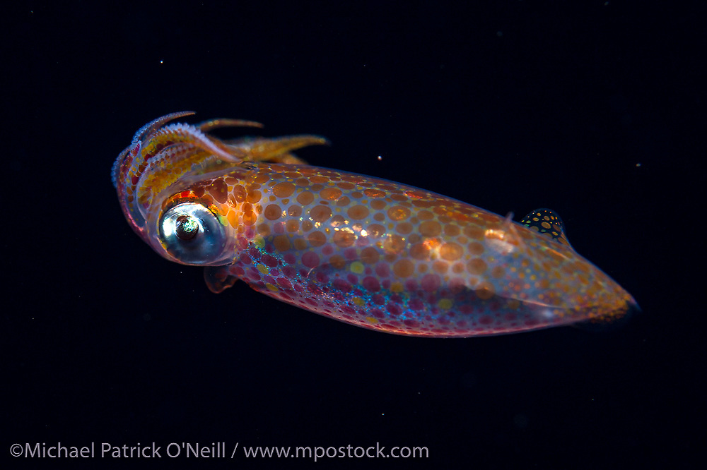 An unidentified species of Arrow Squid feeds on a fish while drifting in the Gulf Stream current offshore Palm Beach, Florida, United States during a blackwater dive late in the evening.