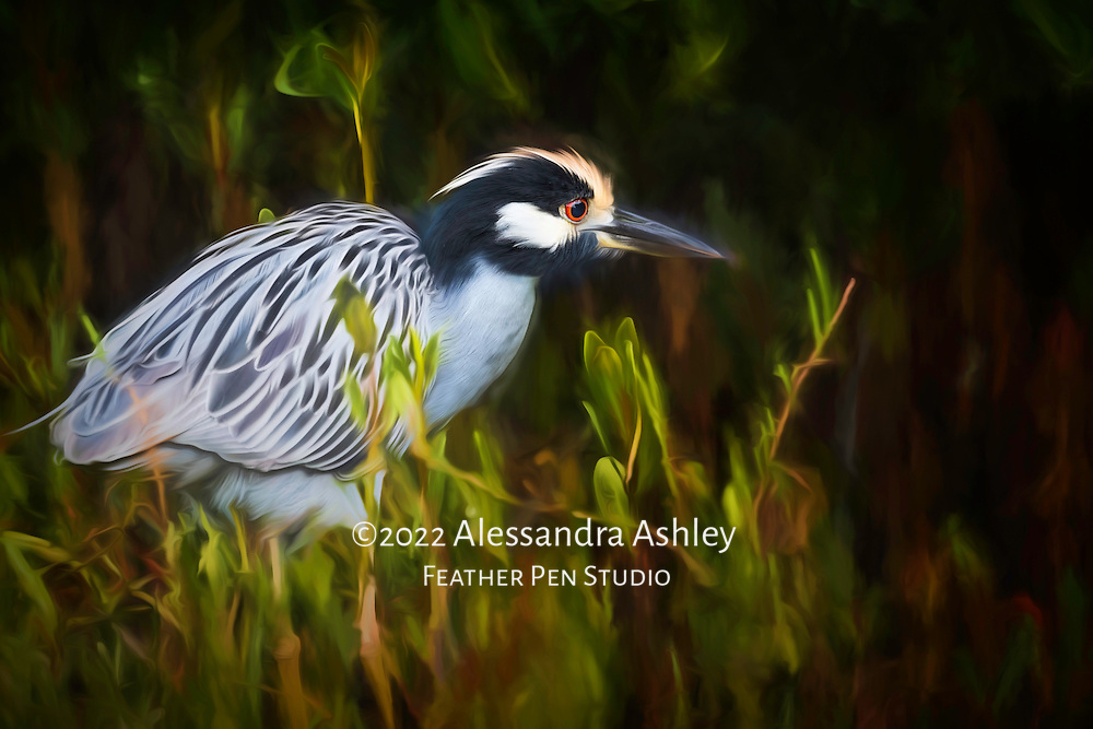Yellow-crowned night heron foraging along the ground in the mangrove swamp.  Sanibel Island, FL.   Painted effects blended with photorealism.  The yellow crowned night heron is a small, stocky, typically nocturnal heron with blue and white facial feather stripes and a yellow crest.