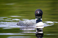Common loon, Gavia immer, Orland, Maine.