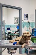 Oristano, Clinica Veterinaria due Mari, un cane appena arrivato per un grosso taglio alla zampa anteriore