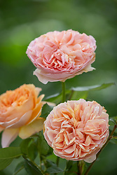 Rosa 'Duchess of Cornwall'