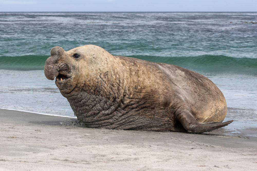 Southern Elephant Seal bull - Mirounga leonina
