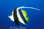 longfin bannerfish or pennant coralfish<br /> Heniochus acuminatus, Liberty Wreck, <br /> Bali, Indonesia ( Java Sea / Western Pacific Ocean )