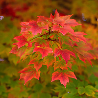 """""""Peaking Desire""""<br /> <br /> Lovely red Maple leaves in the front of the tree, leave you with the desire for more!!<br /> <br /> Fall Foliage by Rachel Cohen"""