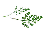 Corky-fruited Water-dropwort - Oenanthe pimpinelloides