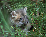 Red fox kit, 6 weeks old, with small pine tree,  [captive, controlled conditions] © David A. Ponton