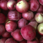 Apples in a bin at an orchard in Massachusetts, New England, USA