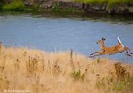 Whitetail deer fawn jumping by Mission Creek at the National Bison Range in Montana