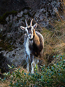 Feral Goat, Glenealo Valley, Glendalough, Co. Wicklow, near the ruined Miner's Village
