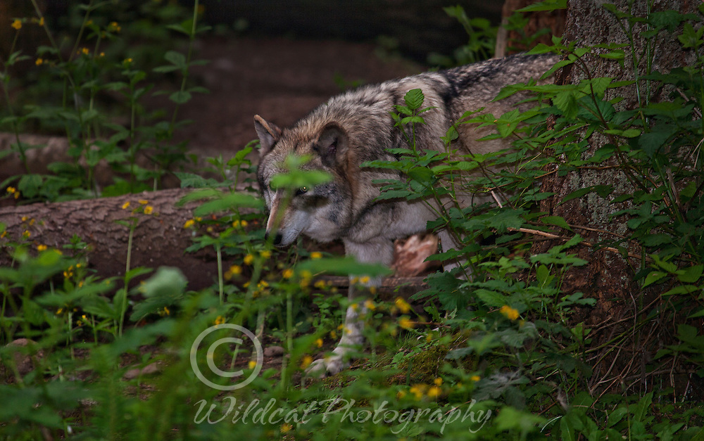 Wolf in the bushes.