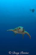 divers and loggerhead sea turtle, Caretta caretta, Gladden Spit Marine Reserve, off Placencia, Belize, Central America ( Caribbean Sea )
