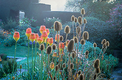 Kniphofia rooperi and teasels on a misty autumnal morning at Great Dixter. Dipsacus fullonum