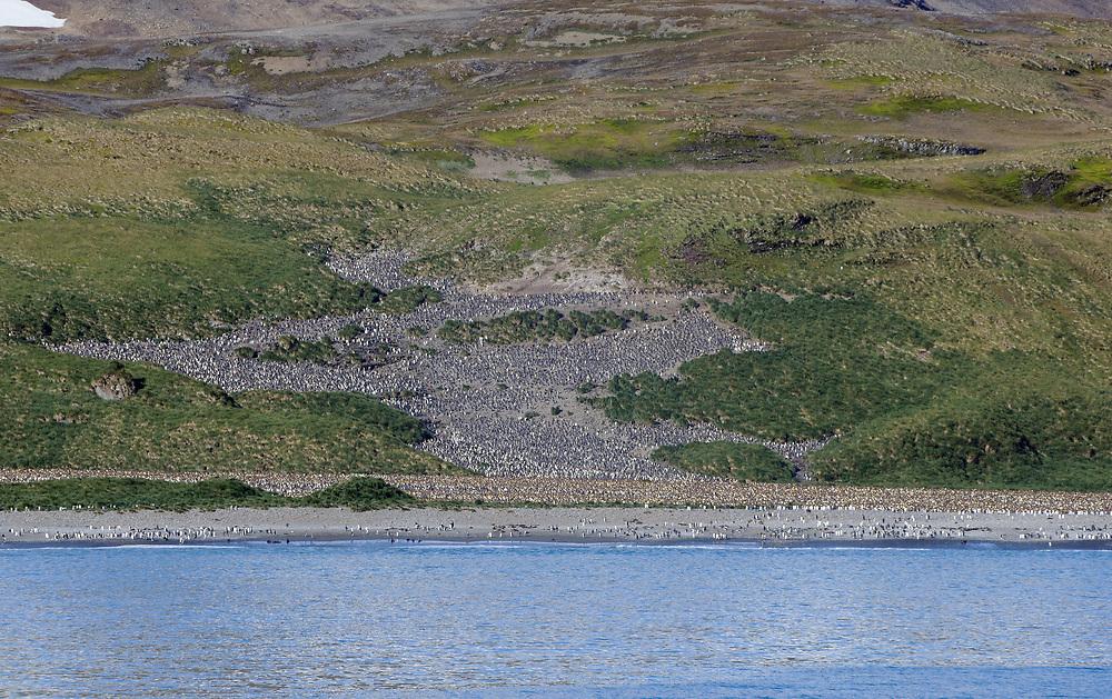 The  King penguin (Aptenodytes patagonicus) nesting colony on a hillside above the beach at Salisbury Plain.  Salisbury Plain, Bay of Isles, South Georgia. 19Feb16