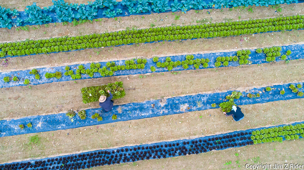 An Amish couple harvest lettuce on their organic farm outside of Lancaster, PA.