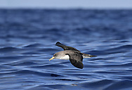 Cory's Shearwater - Calonectris diomedea