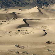 A Tibetan man walks with two yaks along the sand dunes in Tibet.