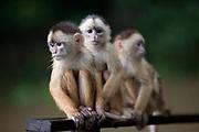 Monkeys in the Amazon, under threat from habitat loss from deforestation, near Manaus, Amazonas, Brazil.