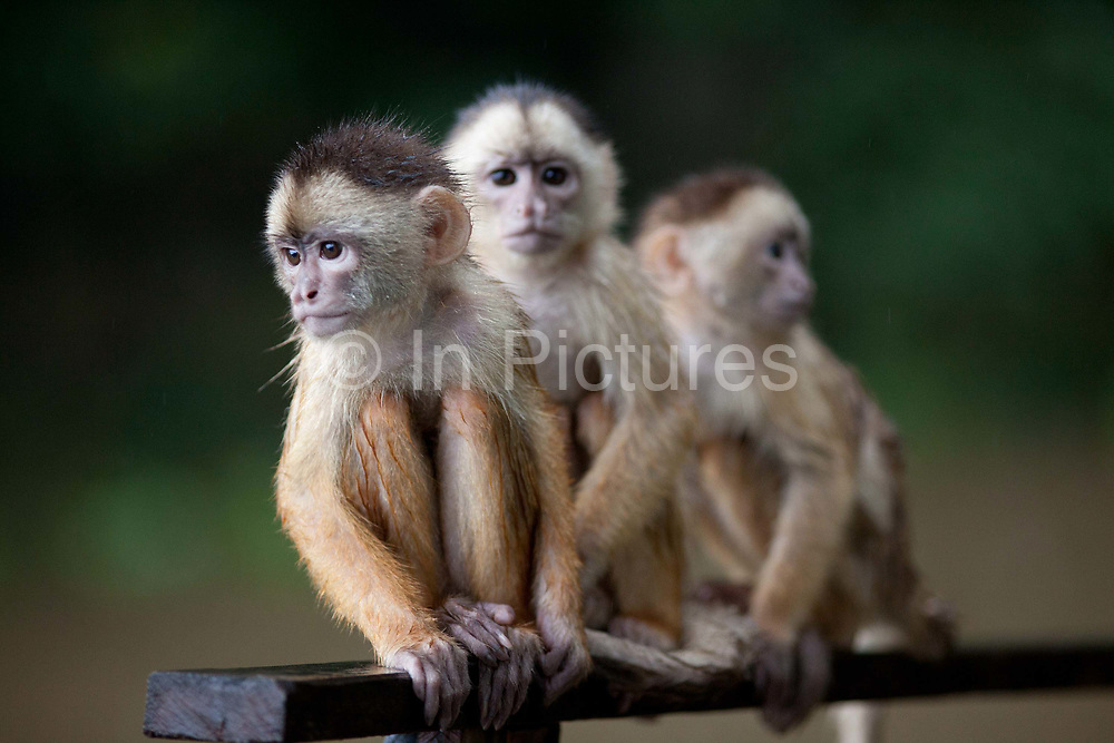 Monkeys in the Amazon, under threat from habitat loss from deforestation, near Manaus, Amazonas, Brazil.