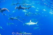 schooling female scalloped hammerhead sharks, Sphyrna lewini, off Keauhou, South Kona, Big Island, Hawaii, USA ( Central Pacific Ocean )