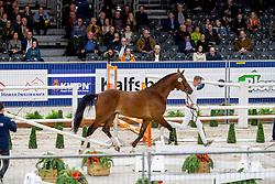 110, Markant<br /> KWPN hengstenkeuring - 's Hertogenbosch 2020<br /> © Hippo Foto - Dirk Caremans<br />  30/01/2020
