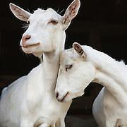 goats mine