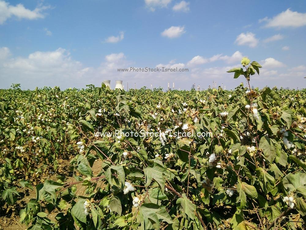 Cotton shrub (Gossypium) Photographed in Israel Haifa Bay