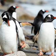 Preening Gentoo penguins (Pygoscelis papua) on the shoreline at Neko Harbour on the Antarctic Peninsula.