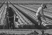 Two Field Workers, Strawberry Fields Near Guadalupe, California Coast, Mexican-Americans, Santa Maria Valley, California agriculture, strawberry plants