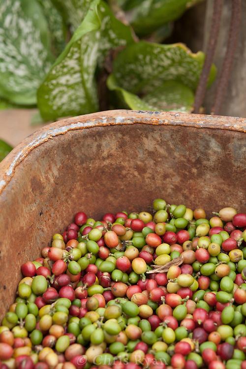 Harvested coffee berries, Vinales Valley, Cuba